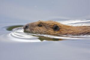 A beaver is swimming in calm water.