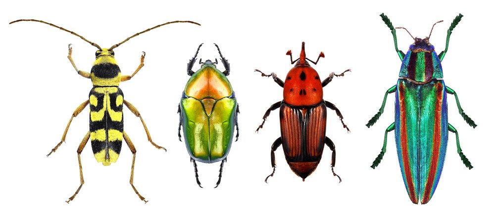 Flower long-horn beetle, flower chafer, red palm weevil and jewel beetle (metallic wood-boring beetle) isolated on a white background.
