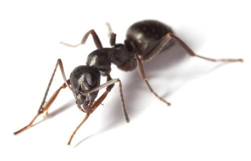 Black Garden Ant On White Background
