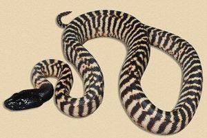 The local black headed Python snake