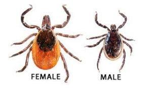 Blacklegged adult female and male