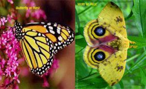 Moth vs Butterfly resting