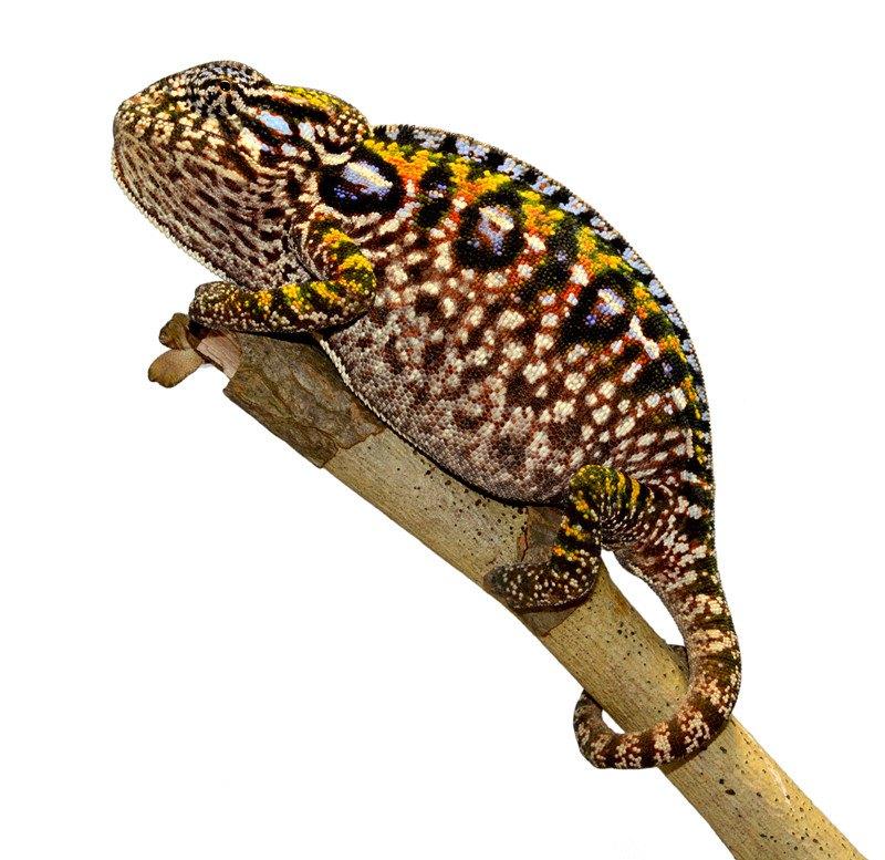 Carpet Chameleon on white background