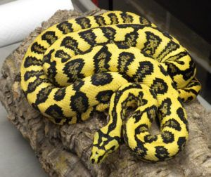 Resting carpet Python snake