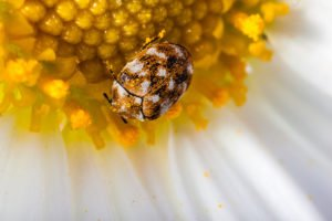 Carpet beetle on a white daisy