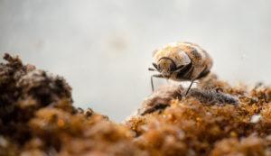 Macro picture of a varied carpet beetle walking on a old sponge.