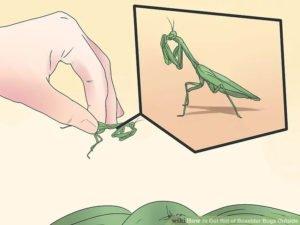 Get rid of praying mantis