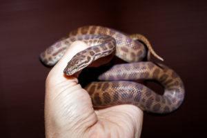Man's hand holding a children's Python snake