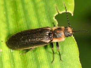 Click beetle resting on leaf