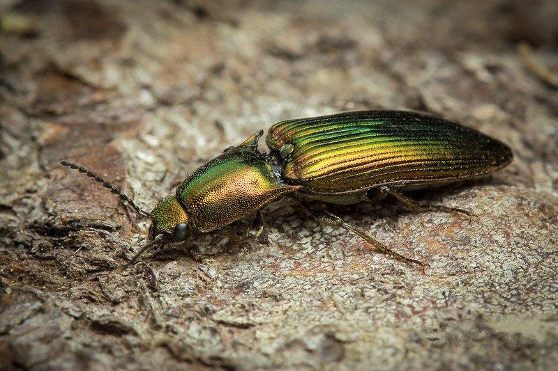 Click beetle lying on rock
