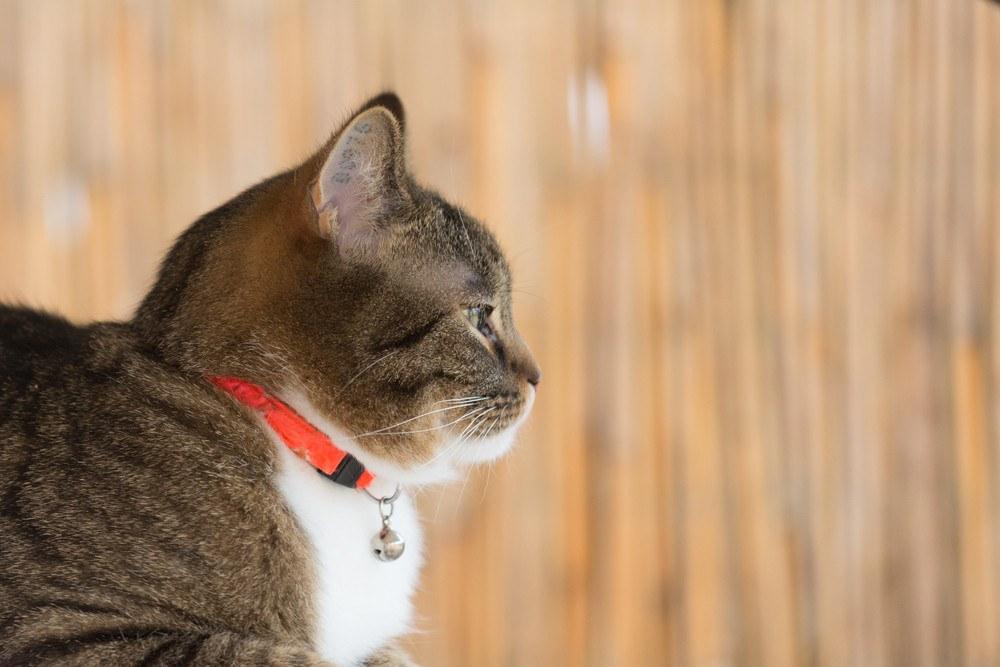 Cat collar portrait of a tiger cat wearing a orange securitiy collar.