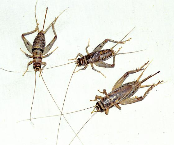 Three crickets together on the white.