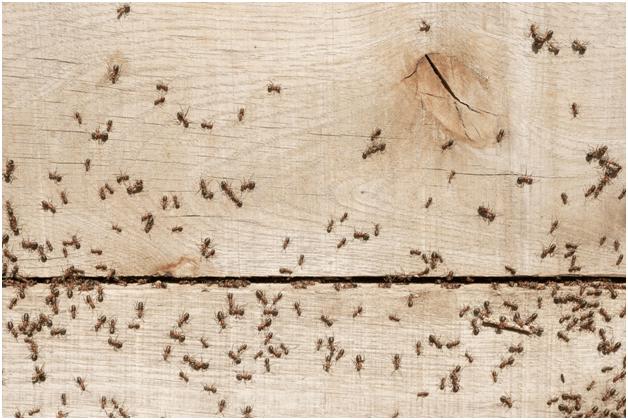 Pharaoh ants damage on wood