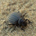 Darkling beetle isolated on beach sandy dune.