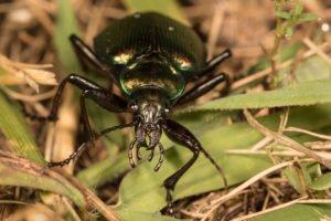Darkling beetle with green rim