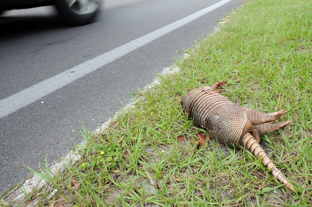 Dead Armadillo at the side of a road.