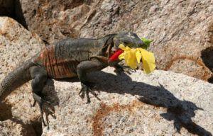 Desert dragon is eating a flower.