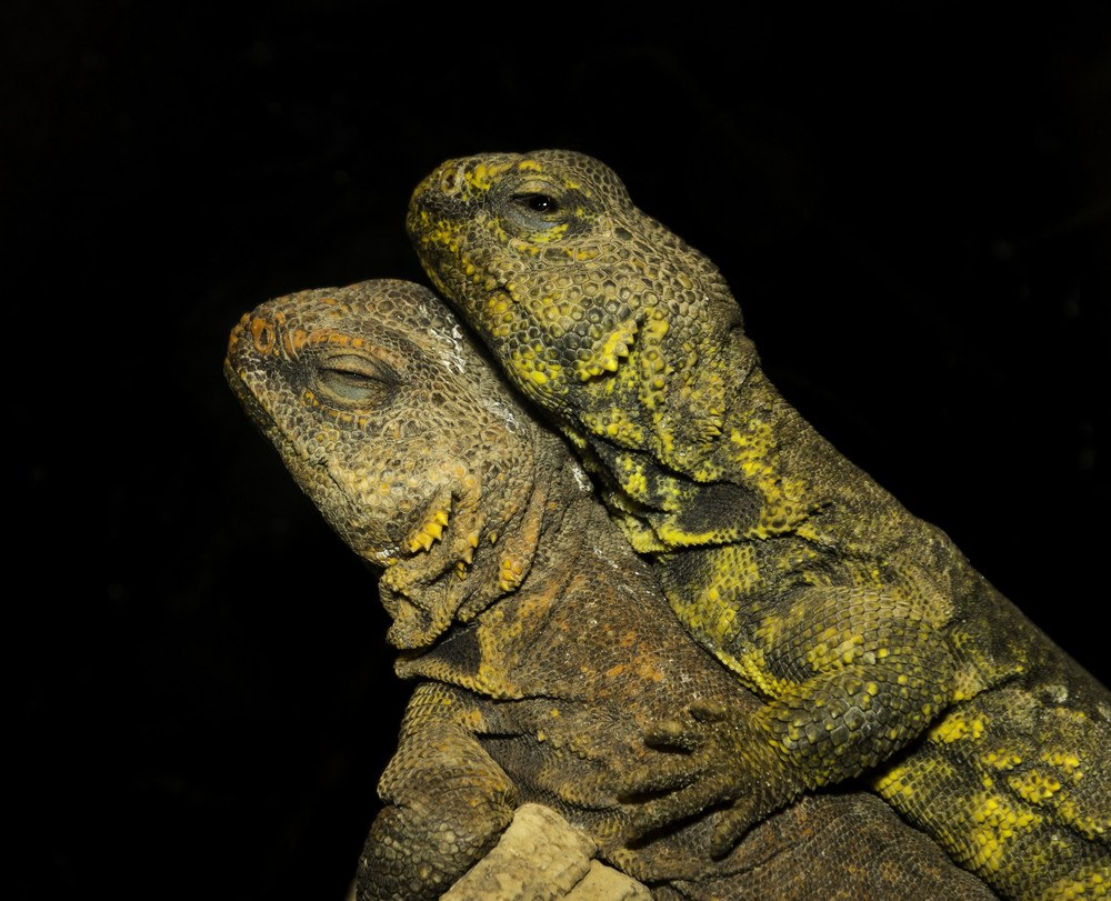 Desert iguana mates lying on top of each other.
