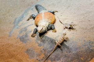 Desert iguanas in the zoo.