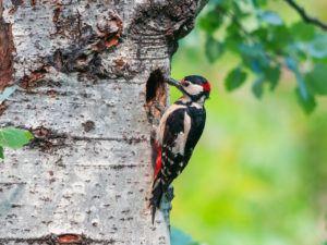 Woodpecker drumming on tree