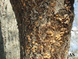 Gypsy moth egg masses on tree