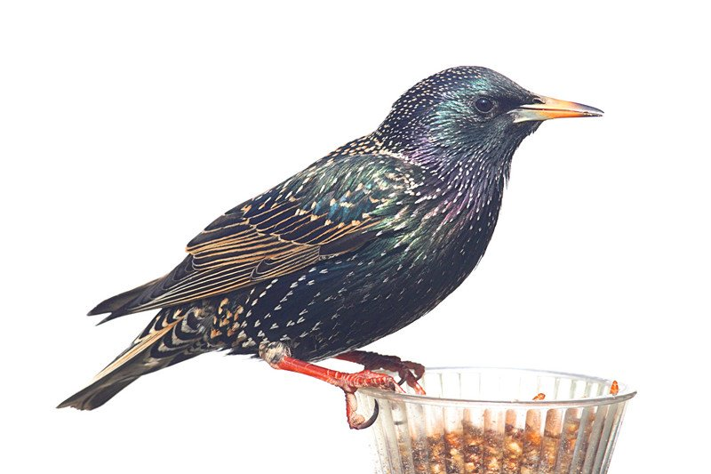 European Starling in winter plumage on a feeder