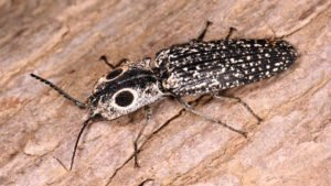 Eyed click beetle lying on tree