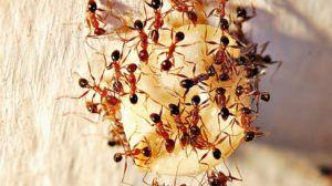 Pharaoh ants eating fruit