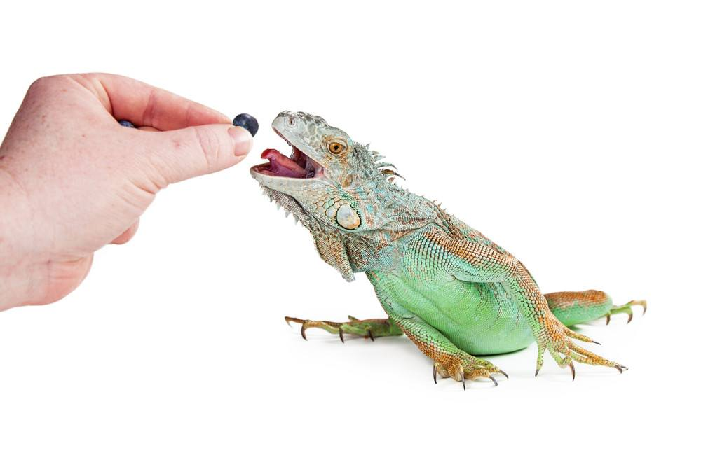 Hand of a person feeding a blueberry to a pet iguana reaching out with mouth open and tongue out.