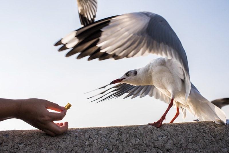 Human feeding seagull