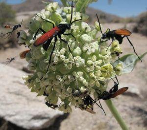 Group of Tarantula hawks on flower