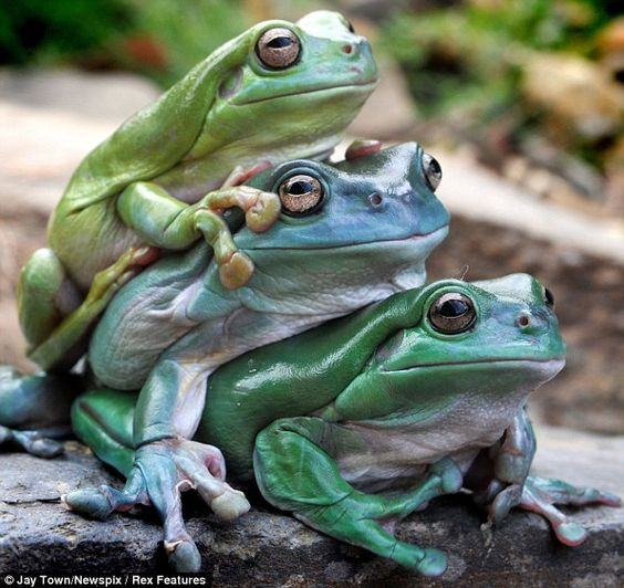 Three frogs on rock