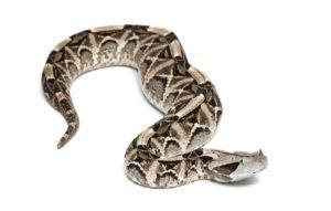 Gaboon Viper snake lying on white background