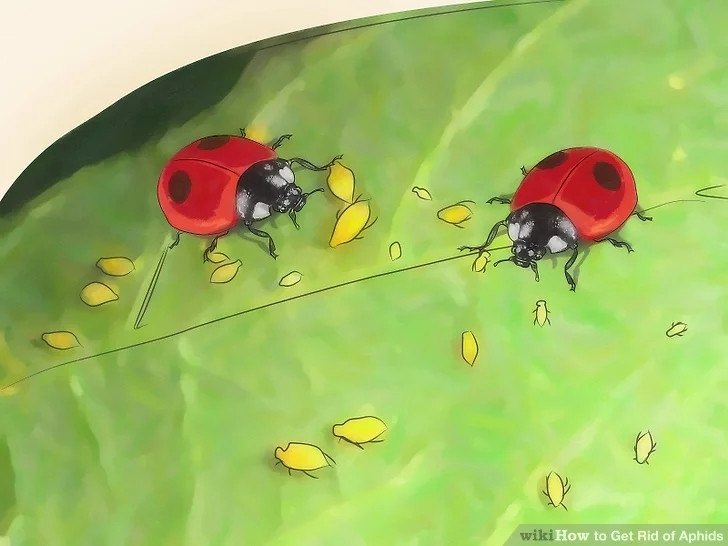 Let ladybugs to get rid of aphids