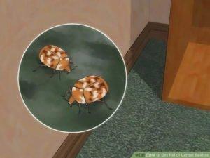 Get rid of carpet beetles at home
