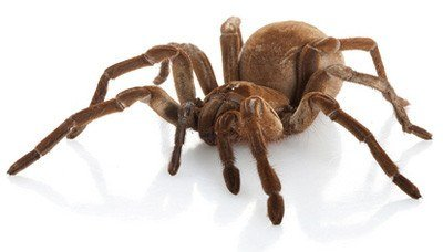 7 Fun Facts About The Goliath Bird Eating Spider Pest Wiki