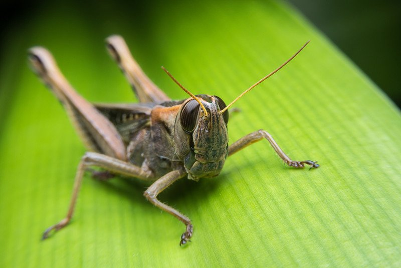 An Image of Grasshoppers