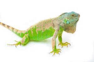 Green iguana sits on the white.