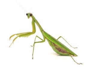 Green mantis on white background