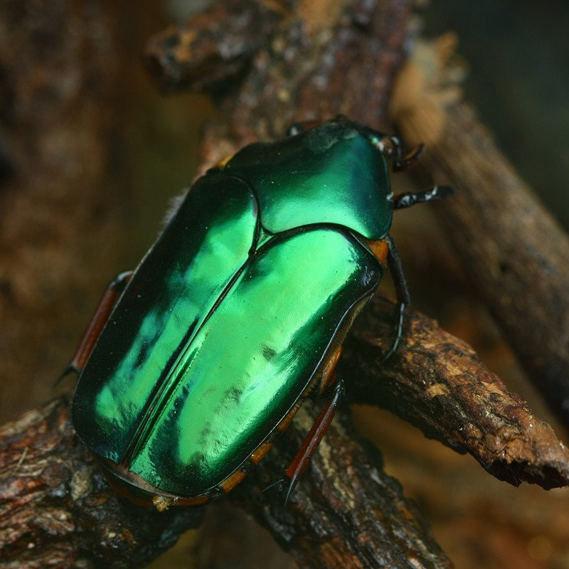 Green beetle in forest