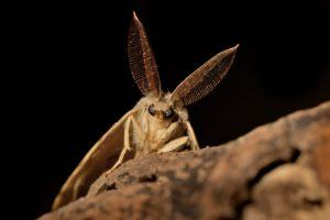 Gypsy moth sitting on the branch in the night