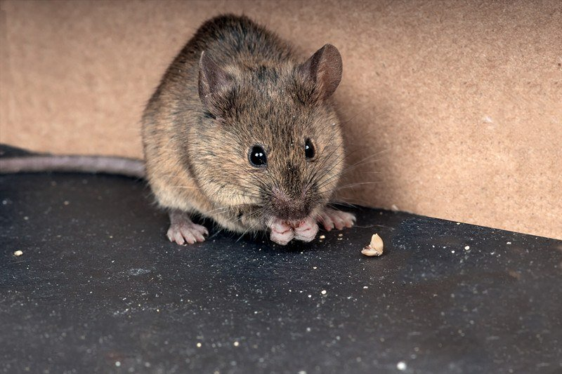 Common house mouse gnaws grain