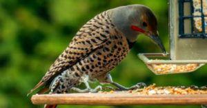 Hungry woodpecker eating corns outside the window