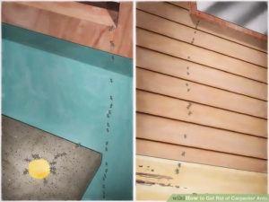 Carpenter ants in house