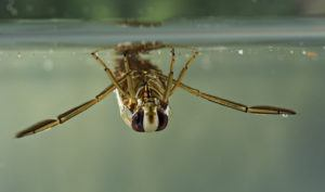 Backswimmer portrait in the water