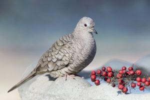 Inca dove on rock