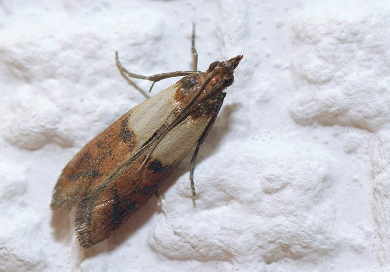 Indian meal moths lying on flour