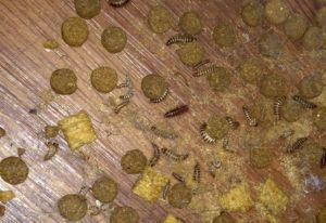 Larder beetle larva infestation