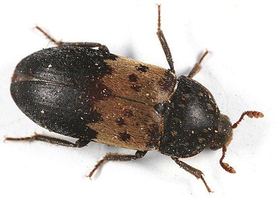 Larder beetle on white background