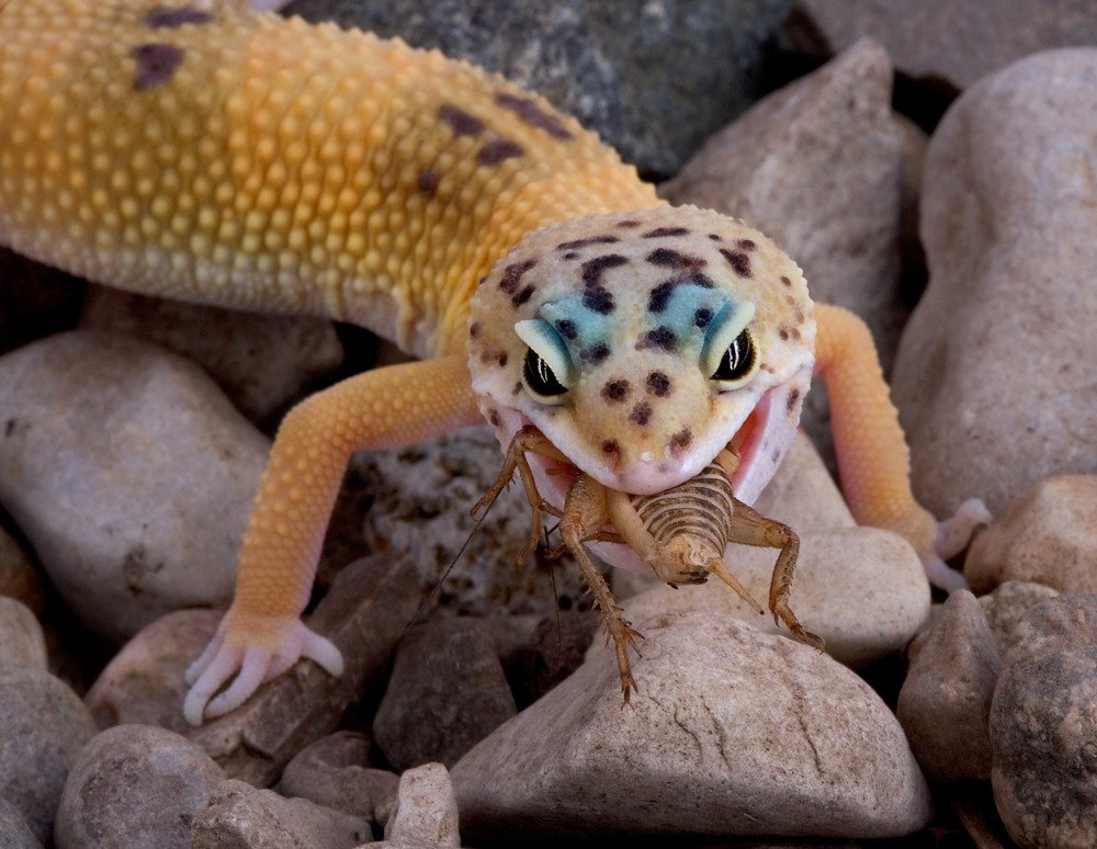 A young leopard gecko is eating a cricket.